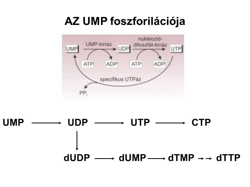 AZ UMP foszforilációja
