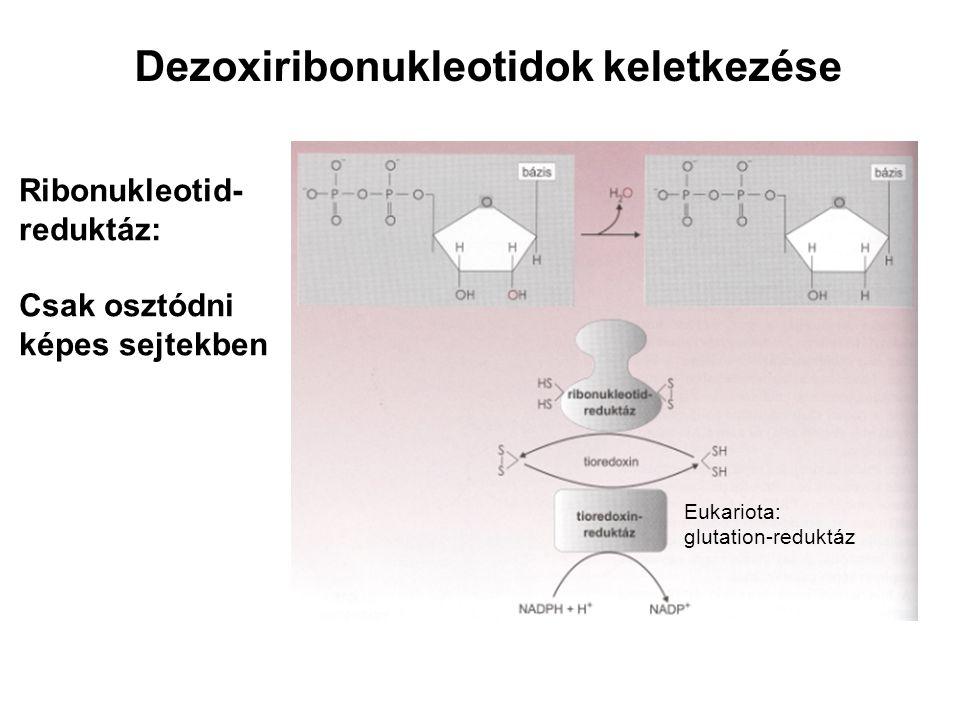Dezoxiribonukleotidok keletkezése