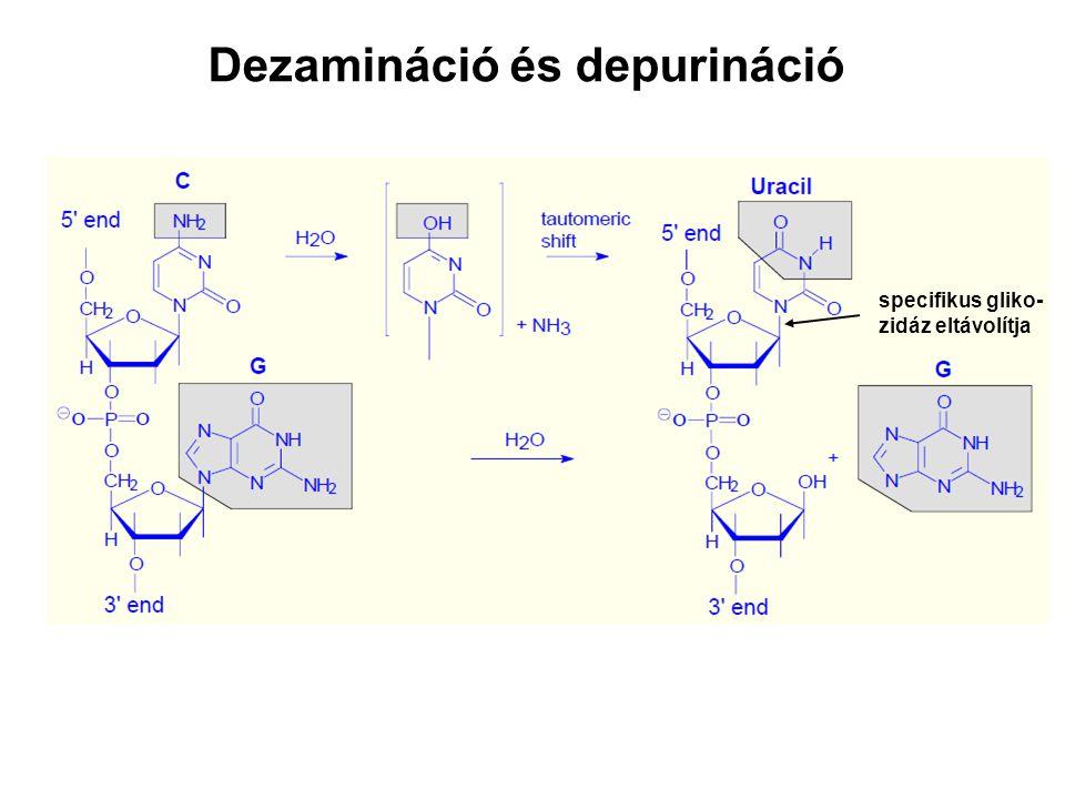 Dezamináció és depurináció