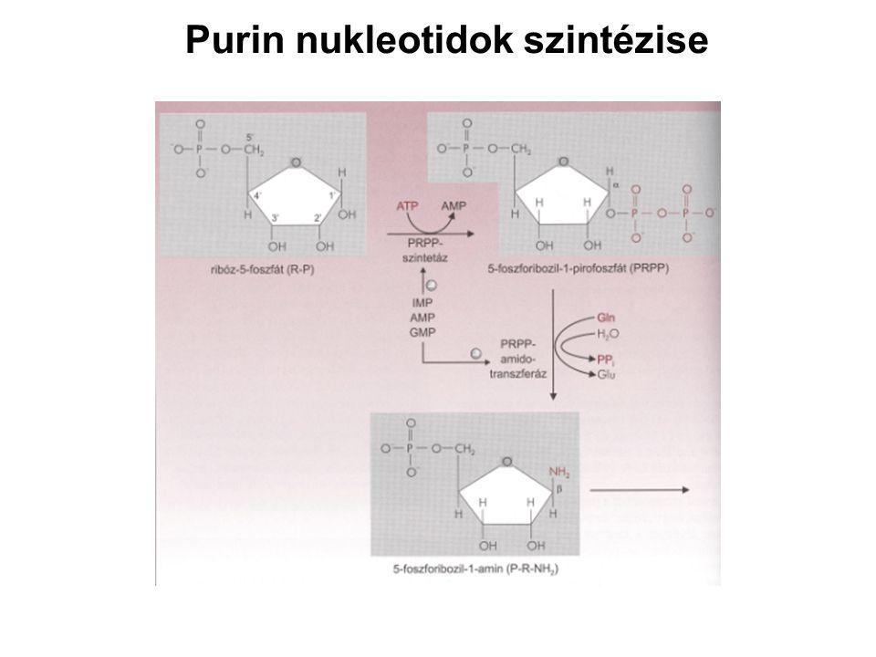 Purin nukleotidok szintézise