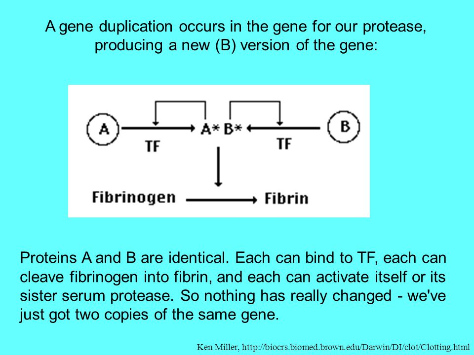 A gene duplication occurs in the gene for our protease, producing a new (B) version of the gene: