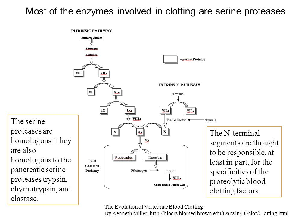 Most of the enzymes involved in clotting are serine proteases