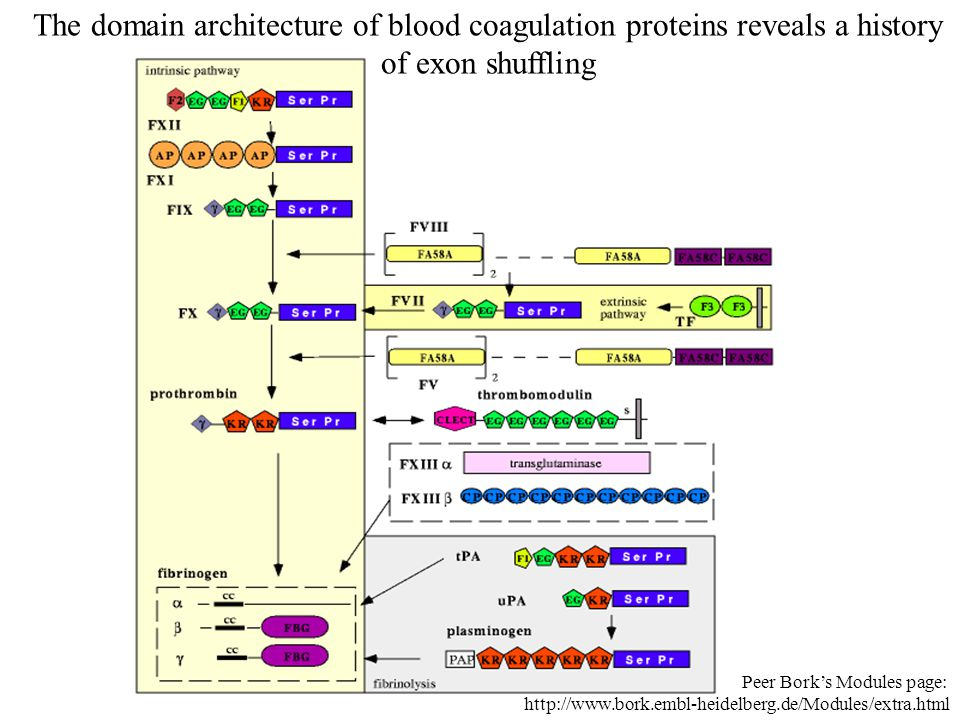 The domain architecture of blood coagulation proteins reveals a history of exon shuffling