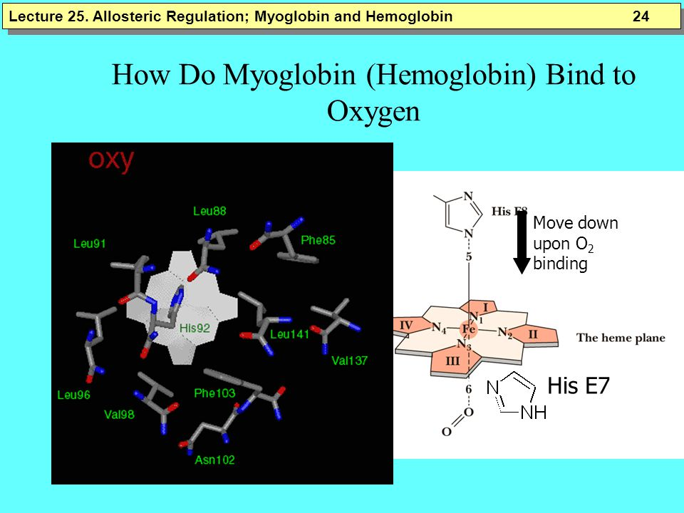 How Do Myoglobin (Hemoglobin) Bind to Oxygen
