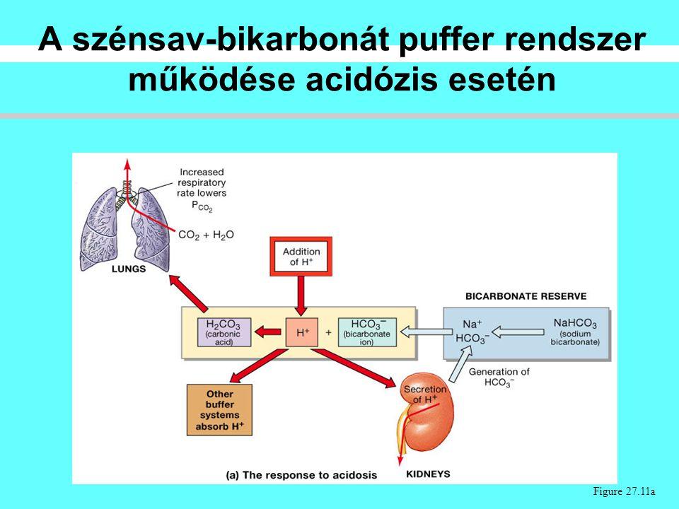 A szénsav-bikarbonát puffer rendszer működése acidózis esetén