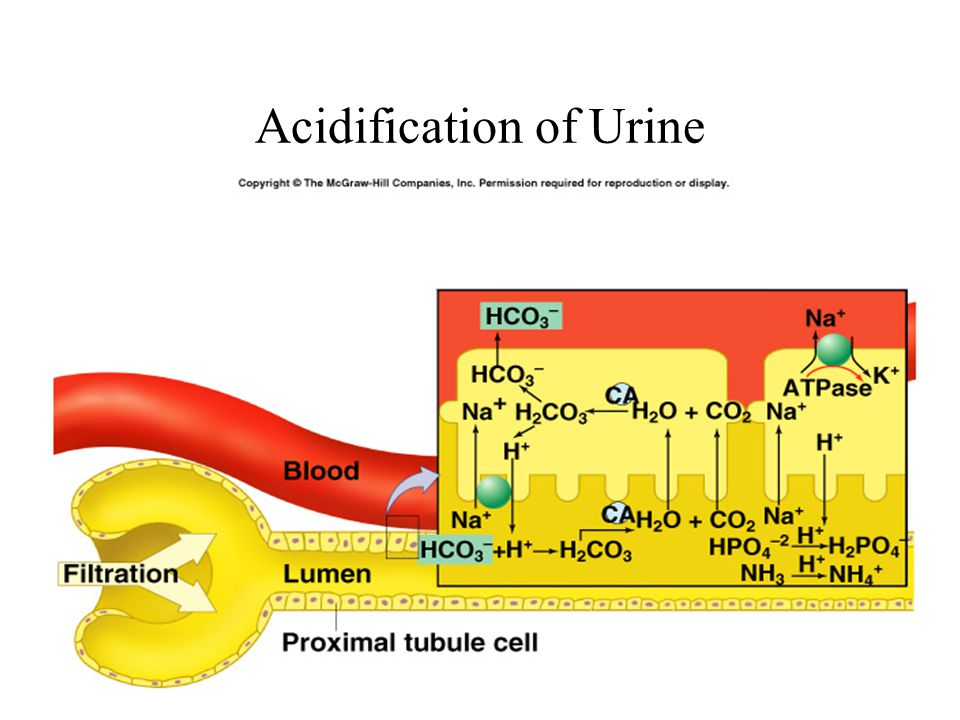 Acidification of Urine