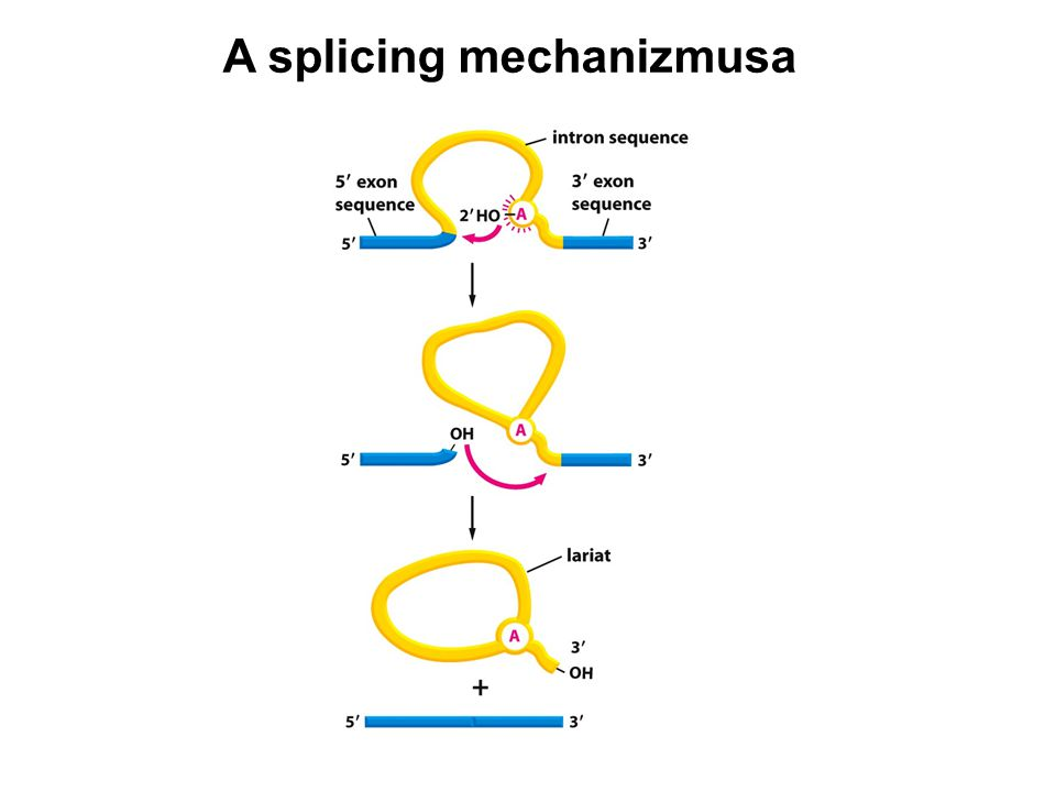 A splicing mechanizmusa