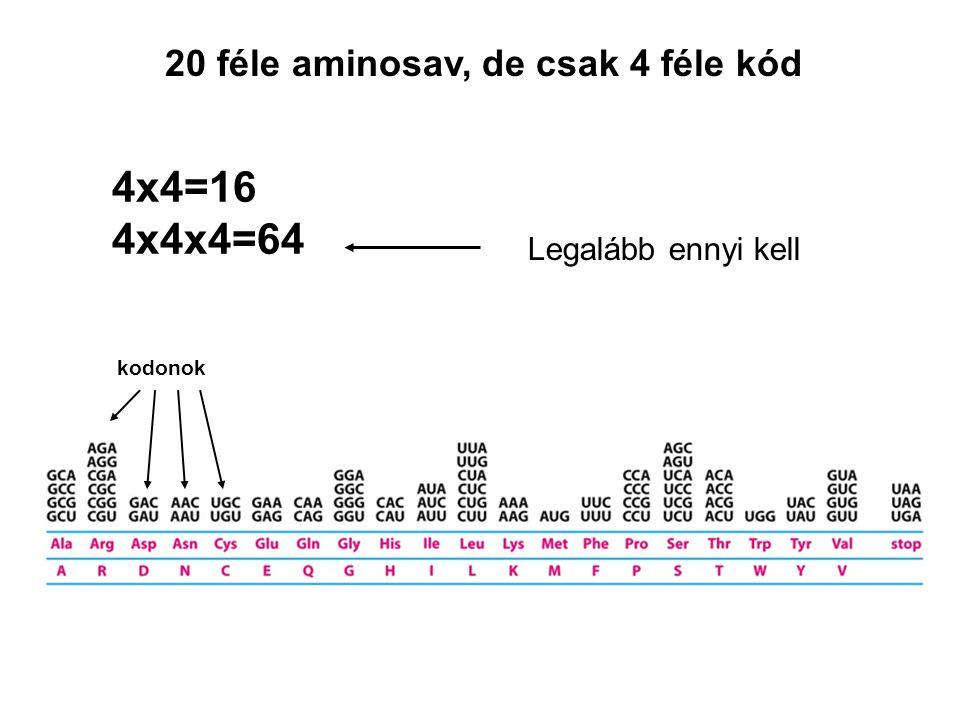 4x4=16 4x4x4=64 20 féle aminosav, de csak 4 féle kód