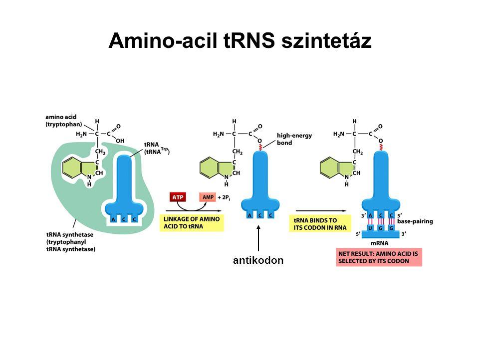 Amino-acil tRNS szintetáz