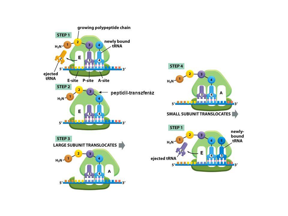 peptidil-transzferáz