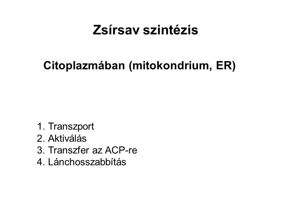 Zsírsav szintézis Citoplazmában (mitokondrium, ER) Transzport