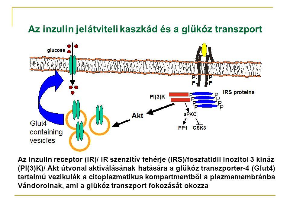 Az inzulin jelátviteli kaszkád és a glükóz transzport