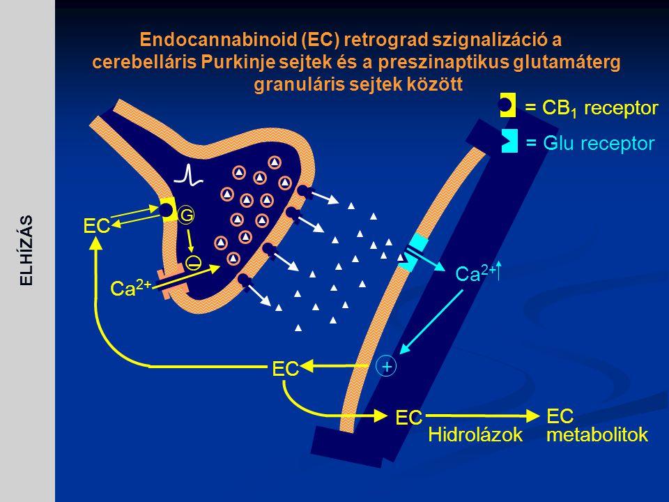 = CB1 receptor = Glu receptor EC – Ca2+ + metabolitok Hidrolázok