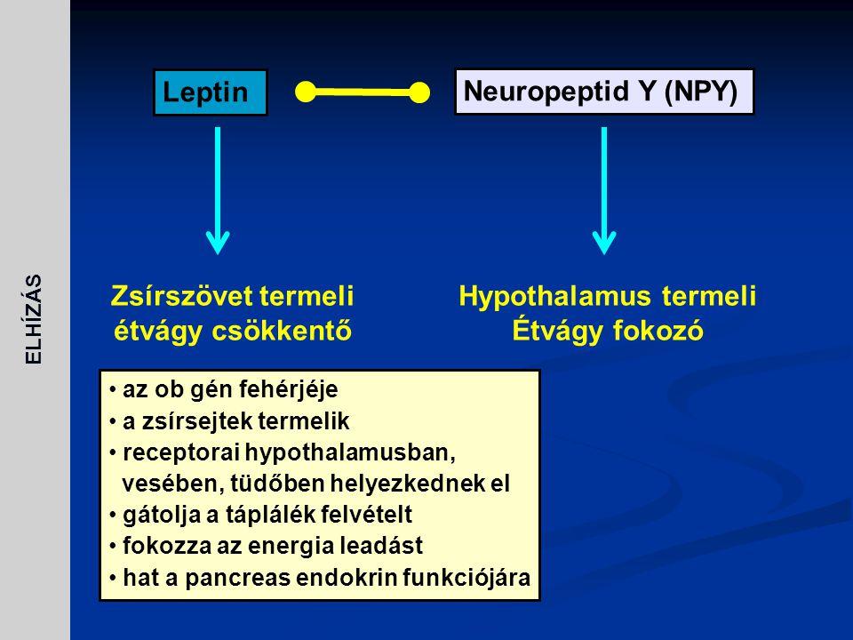 Zsírszövet termeli étvágy csökkentő Hypothalamus termeli Étvágy fokozó