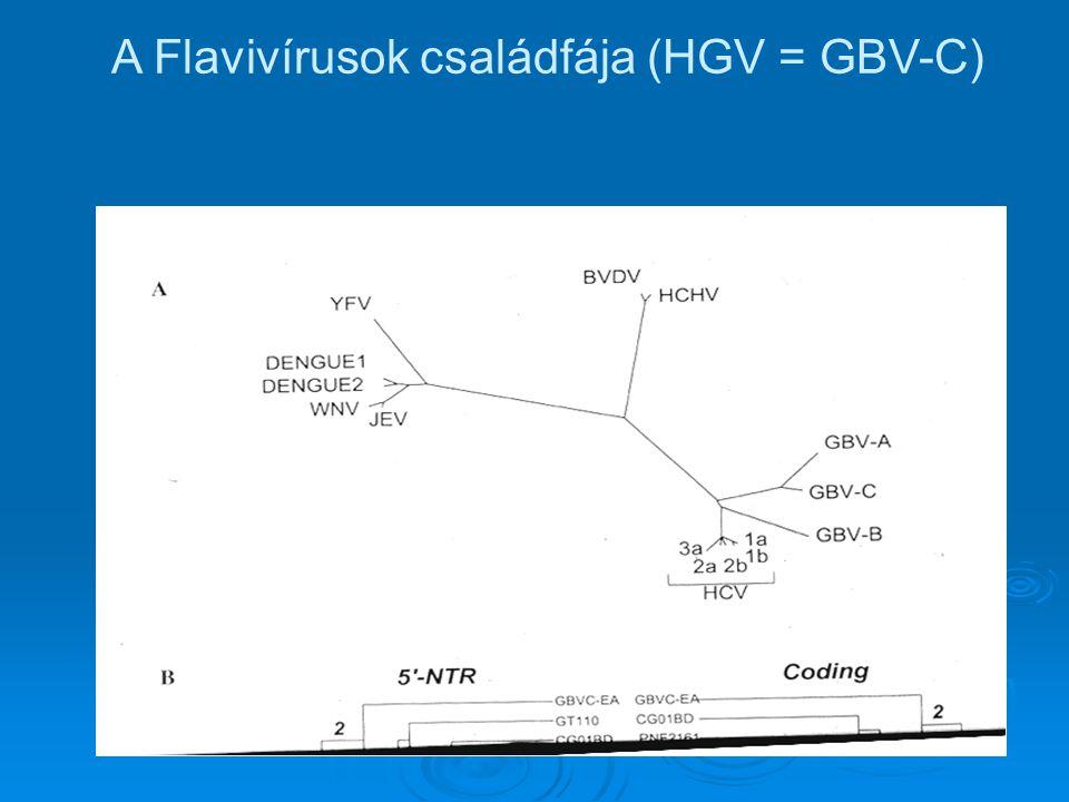A Flavivírusok családfája (HGV = GBV-C)