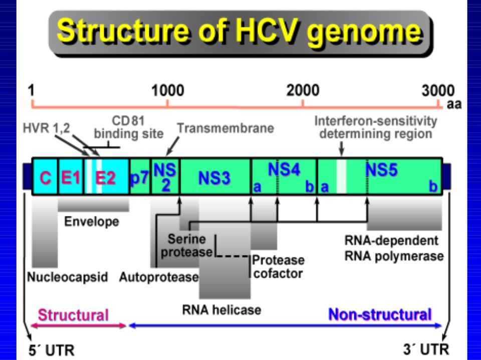 A vírusgenom szerkezete a flavivirusokra hasonlít