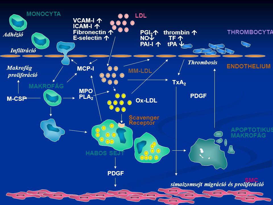 MONOCYTA LDL. VCAM-I  ICAM-I  Fibronectin  E-selectin  Adhézió. PGI2 thrombin  NO TF 