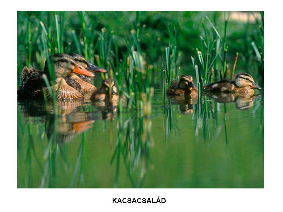 KACSACSALÁD