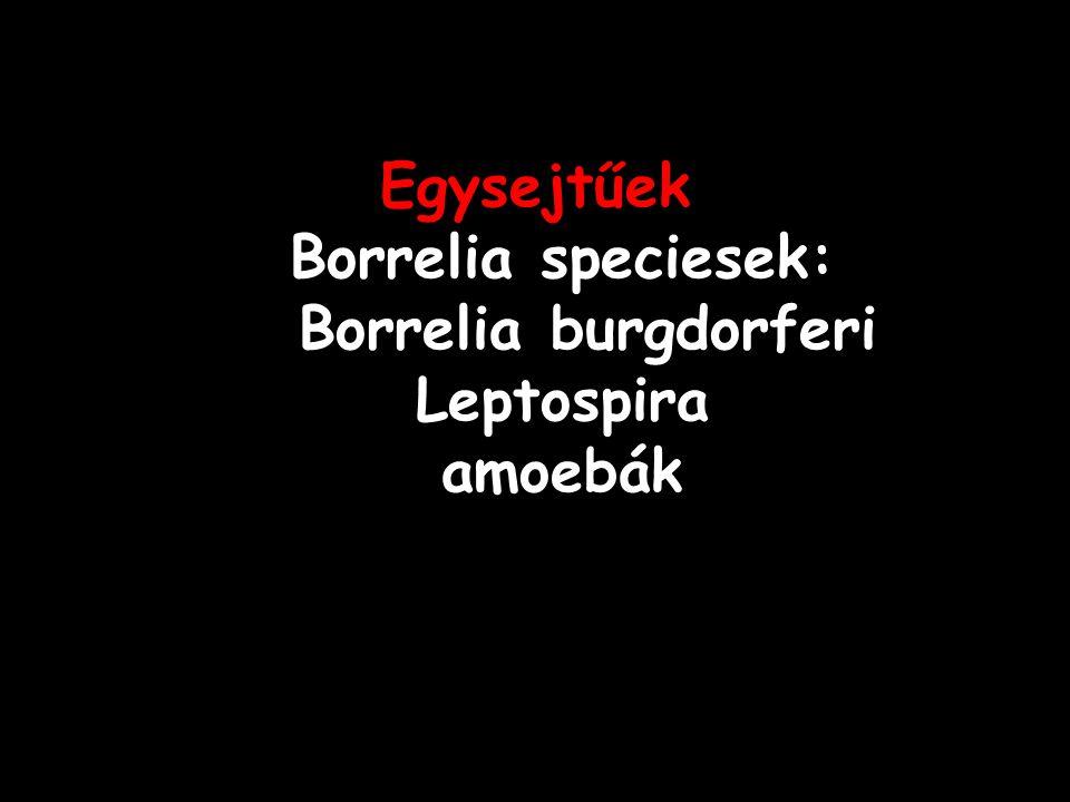 Egysejtűek Borrelia speciesek: Borrelia burgdorferi Leptospira amoebák