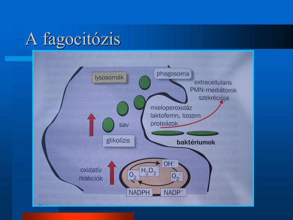 A fagocitózis