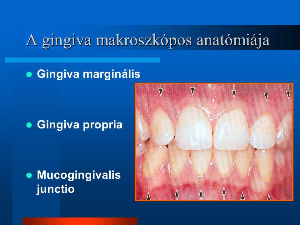 A gingiva makroszkópos anatómiája