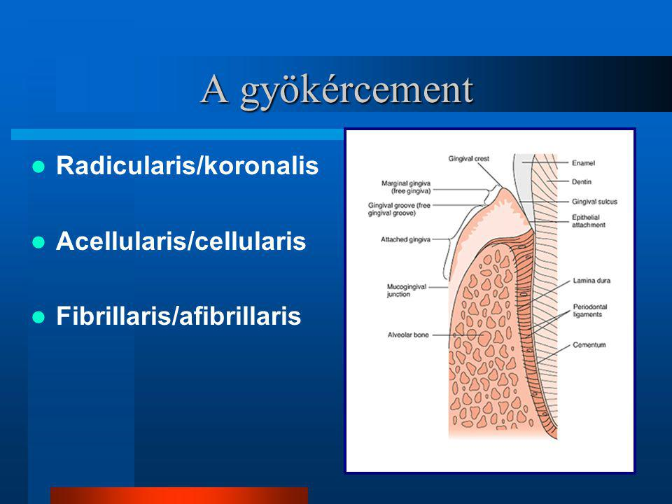 A gyökércement Radicularis/koronalis Acellularis/cellularis