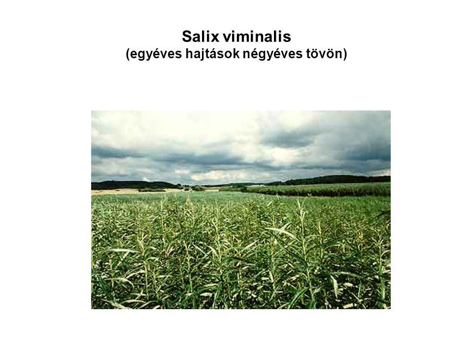 Salix viminalis (egyéves hajtások négyéves tövön)
