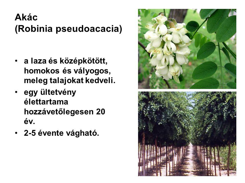 Akác (Robinia pseudoacacia)