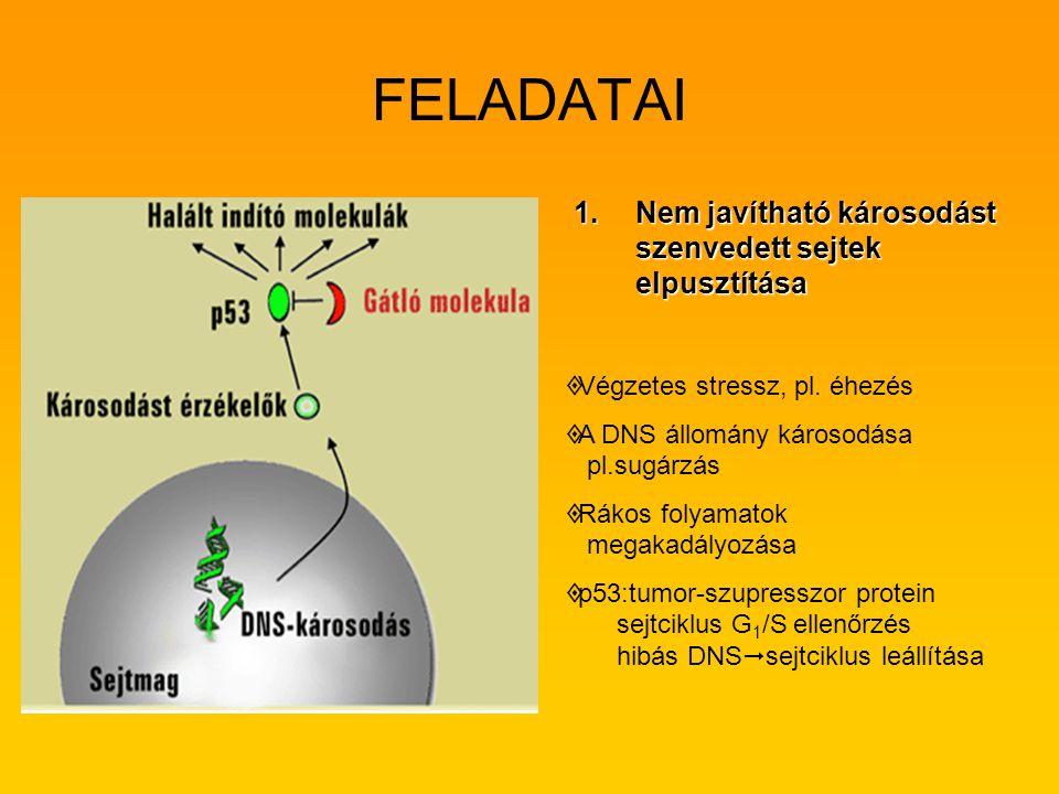 FELADATAI Nem javítható károsodást szenvedett sejtek elpusztítása
