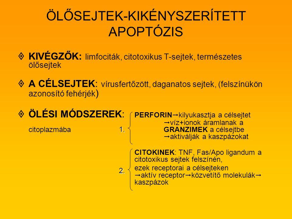 ÖLŐSEJTEK-KIKÉNYSZERÍTETT APOPTÓZIS