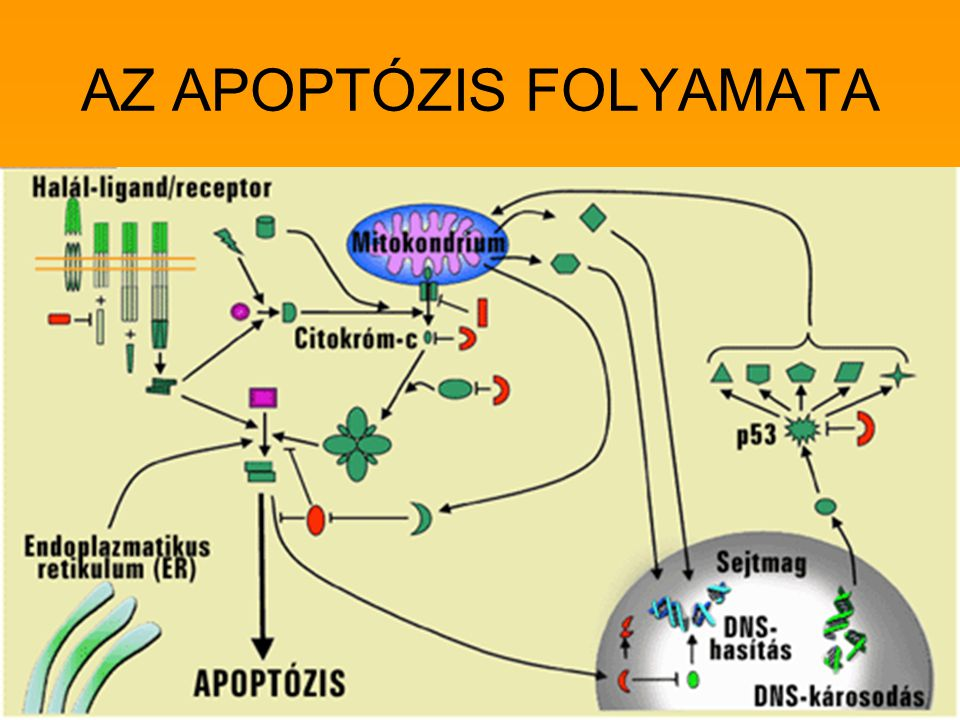 AZ APOPTÓZIS FOLYAMATA