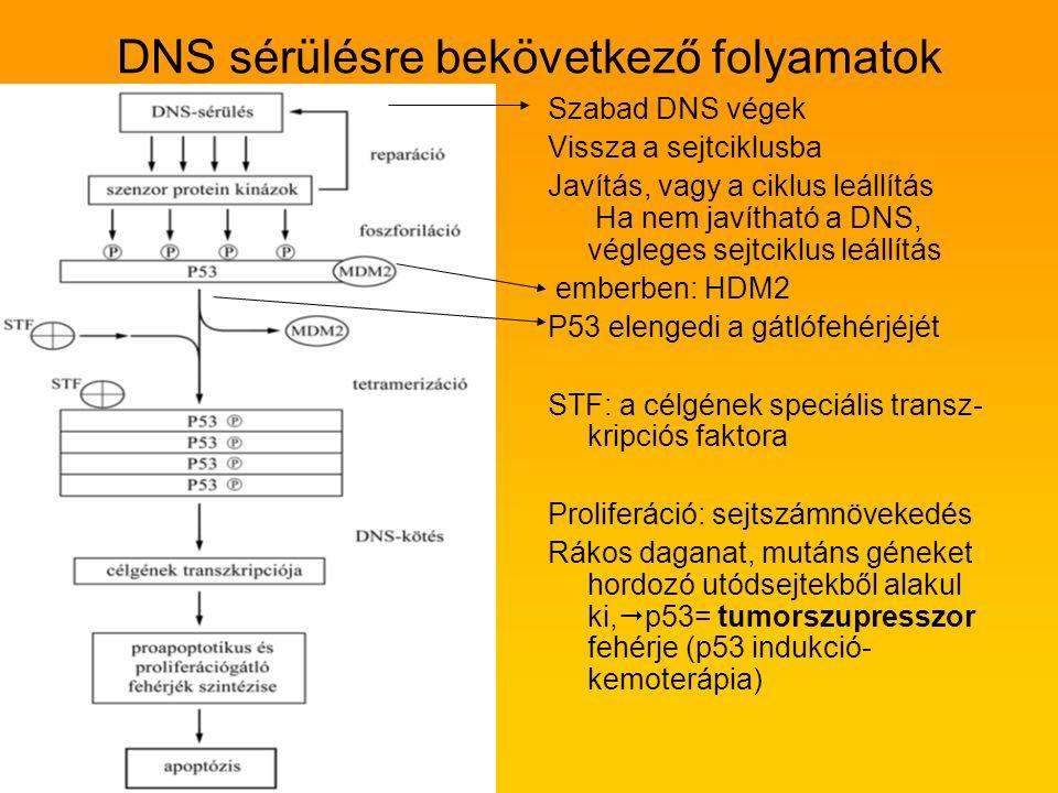 DNS sérülésre bekövetkező folyamatok