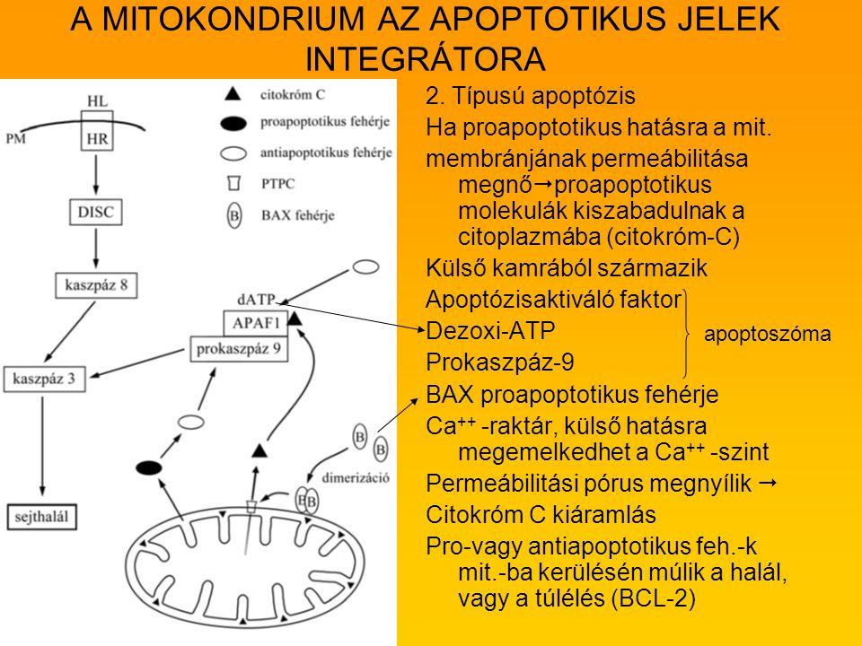 A MITOKONDRIUM AZ APOPTOTIKUS JELEK INTEGRÁTORA