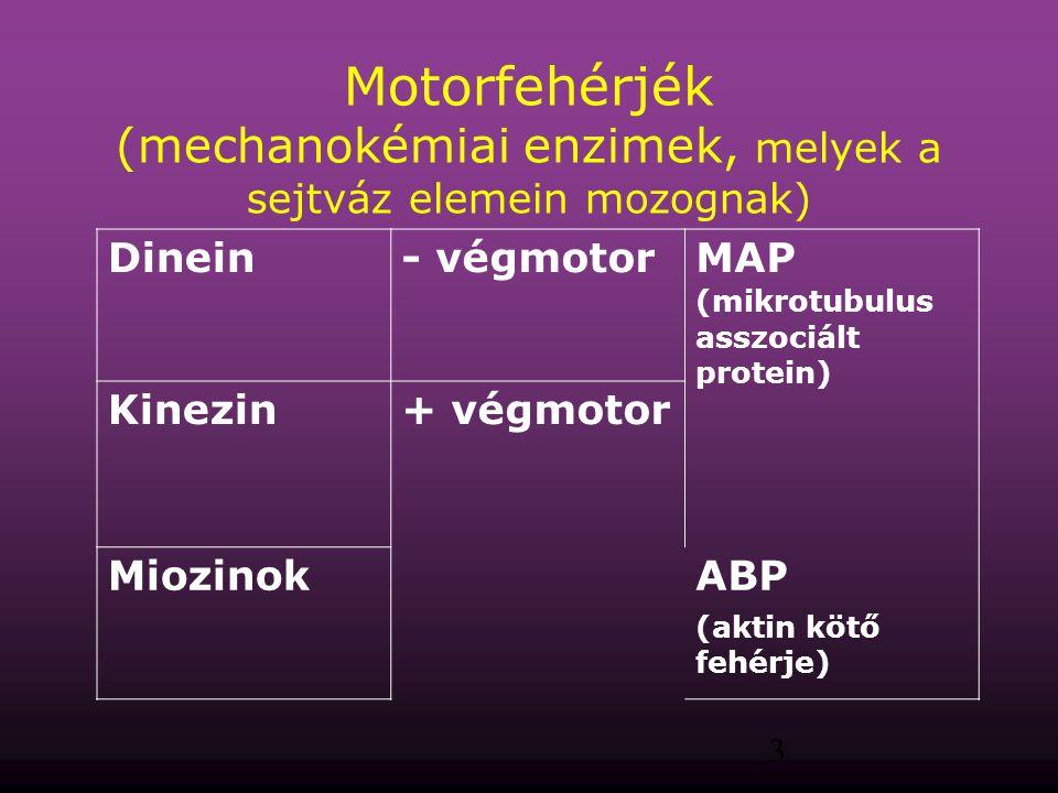 Motorfehérjék (mechanokémiai enzimek, melyek a sejtváz elemein mozognak)