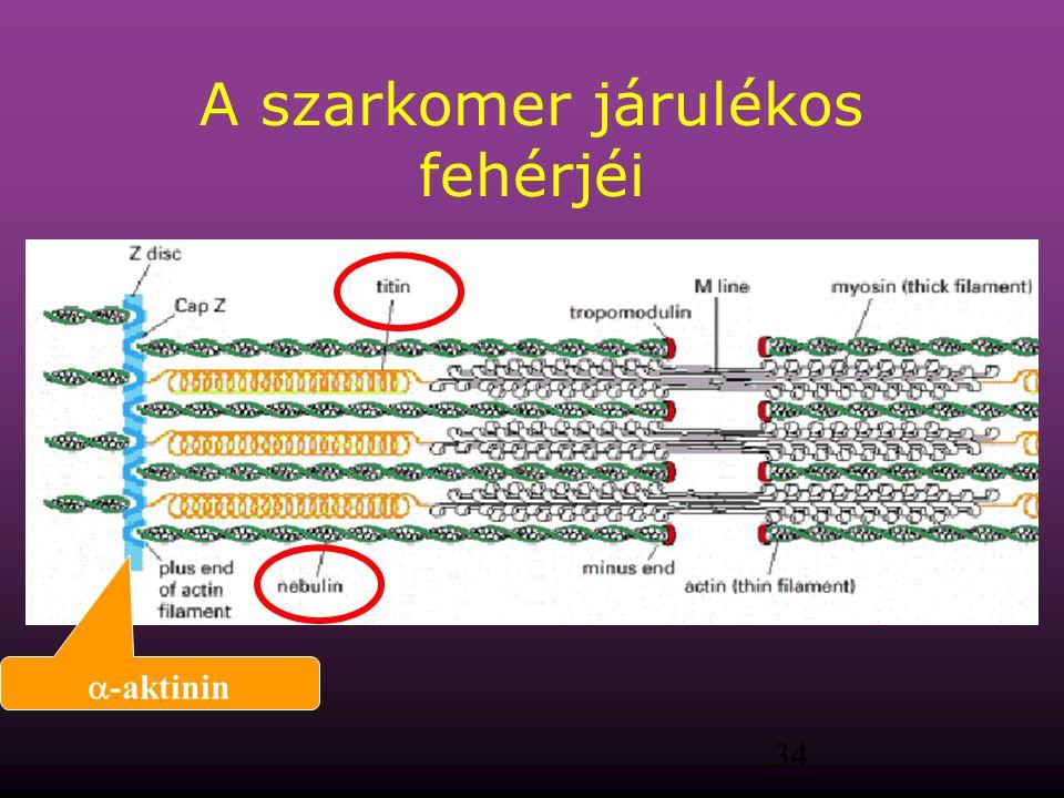 A szarkomer járulékos fehérjéi
