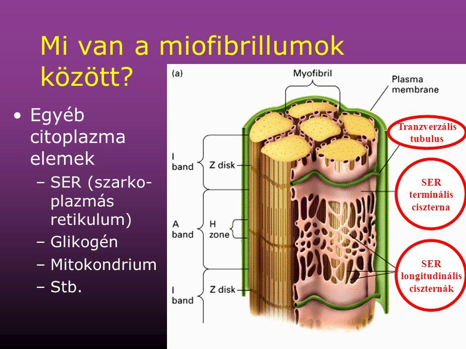 Mi van a miofibrillumok között