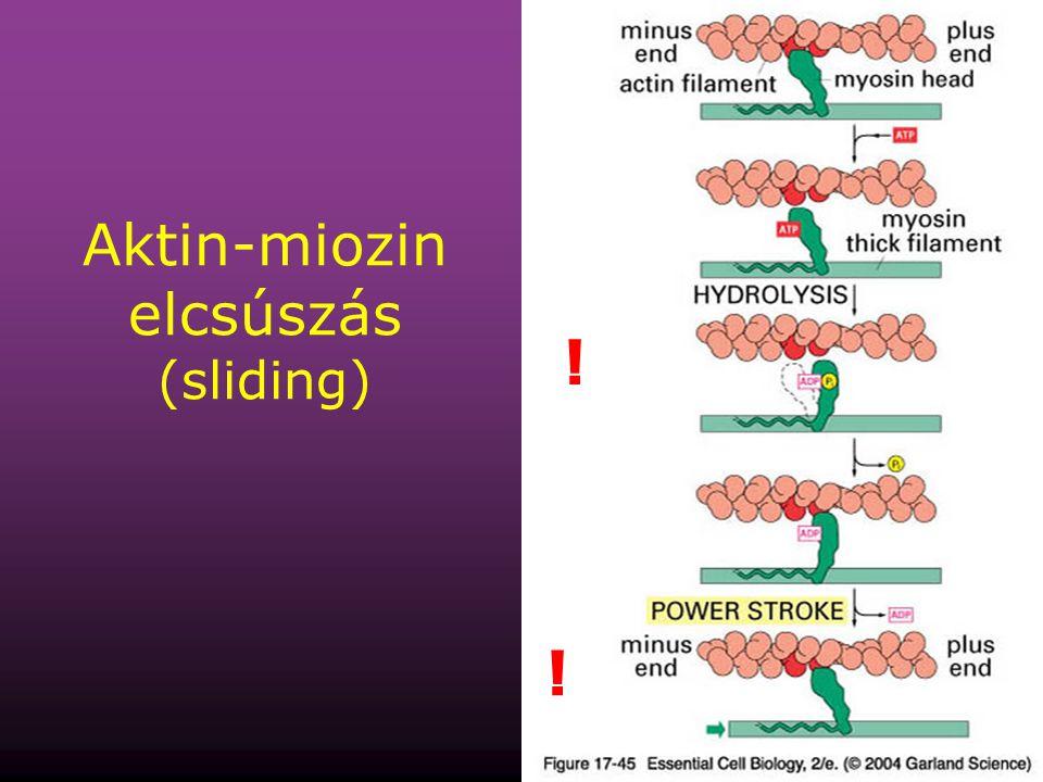 Aktin-miozin elcsúszás (sliding)