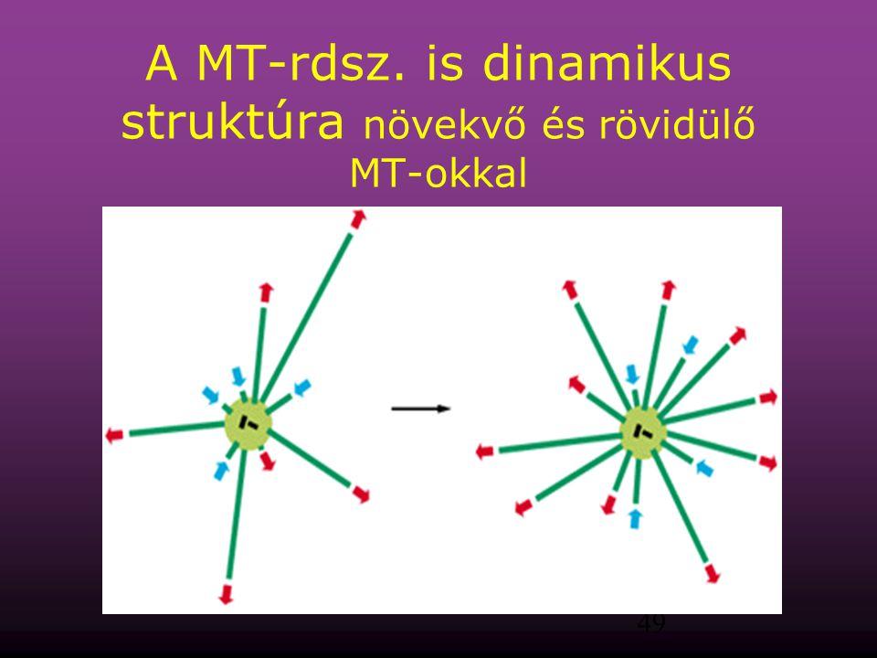 A MT-rdsz. is dinamikus struktúra növekvő és rövidülő MT-okkal