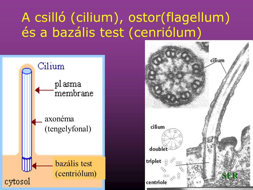 A csilló (cilium), ostor(flagellum) és a bazális test (cenriólum)