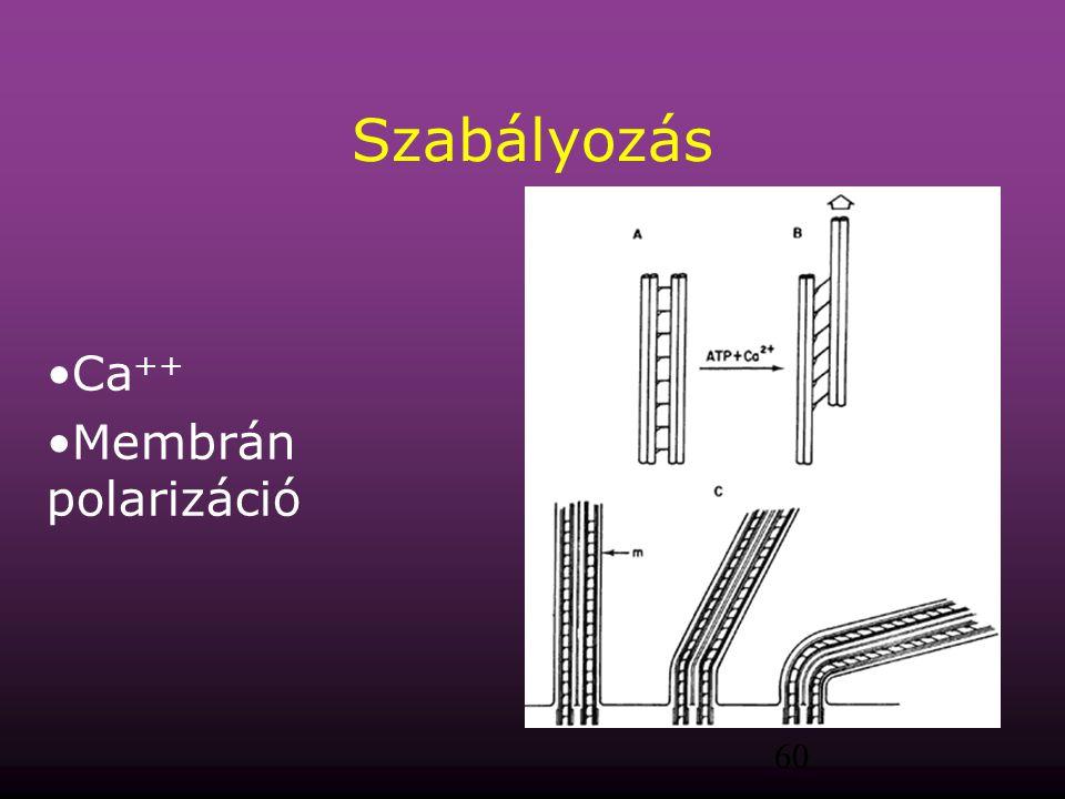 Szabályozás Ca++ Membrán polarizáció