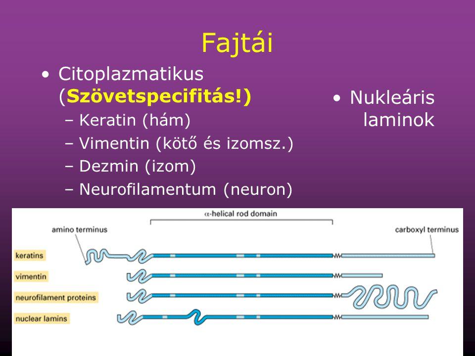 Fajtái Citoplazmatikus (Szövetspecifitás!) Nukleáris laminok