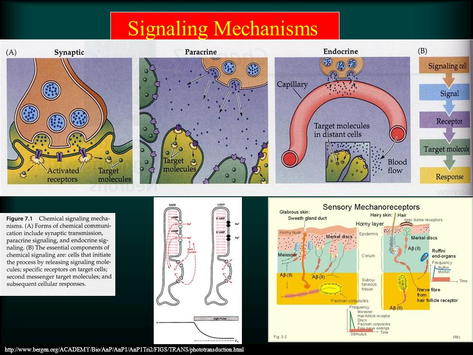 Signaling Mechanisms http://www.bergen.org/ACADEMY/Bio/AnP/AnP1/AnP1Tri2/FIGS/TRANS/phototransduction.html.