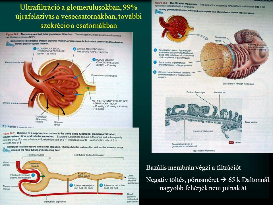 Ultrafiltráció a glomerulusokban, 99% újrafelszivás a vesecsatornákban, további szekréció a csatornákban