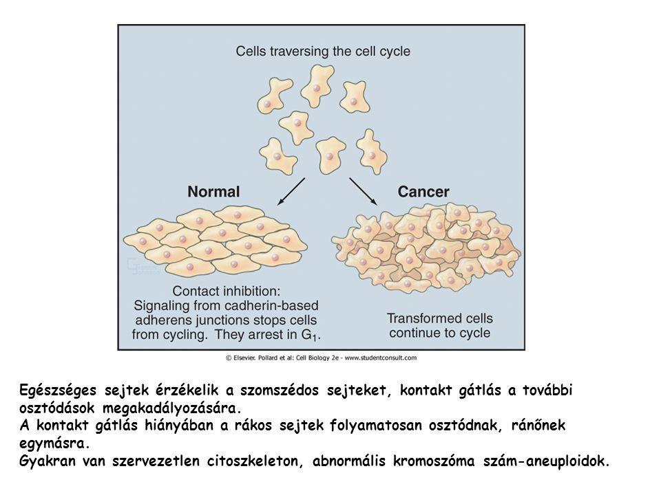 Egészséges sejtek érzékelik a szomszédos sejteket, kontakt gátlás a további osztódások megakadályozására.