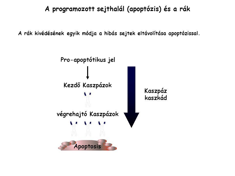 A programozott sejthalál (apoptózis) és a rák