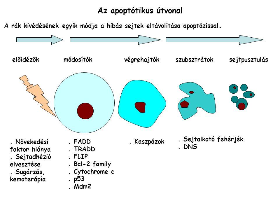 Az apoptótikus útvonal