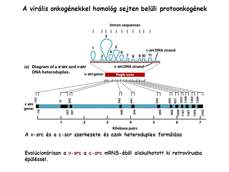 A virális onkogénekkel homológ sejten belüli protoonkogének