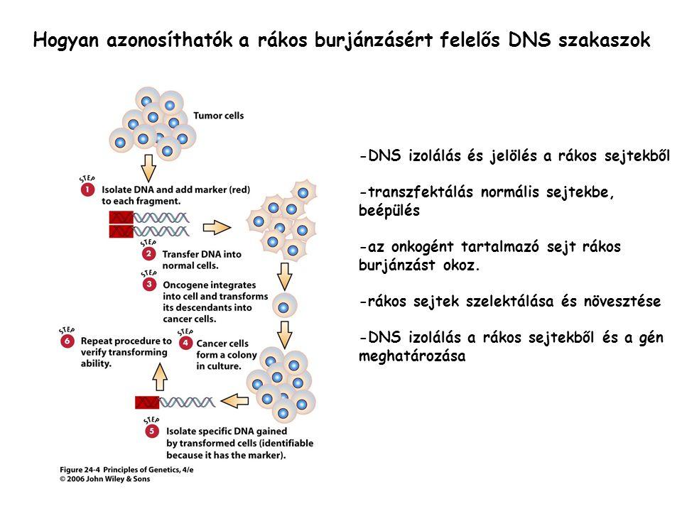 Hogyan azonosíthatók a rákos burjánzásért felelős DNS szakaszok