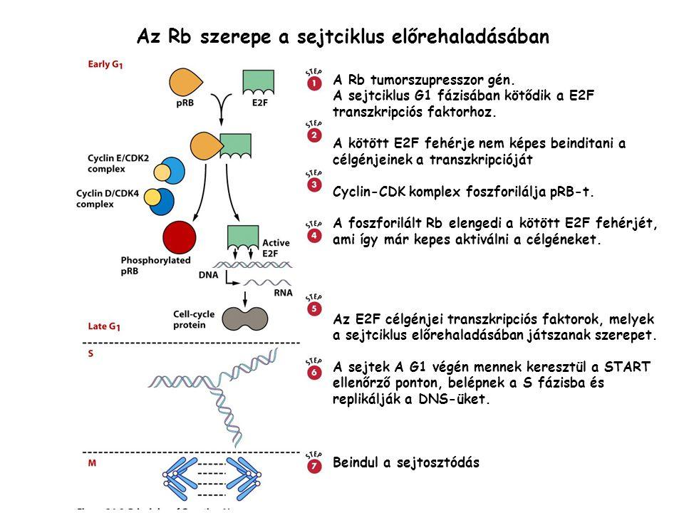 Az Rb szerepe a sejtciklus előrehaladásában