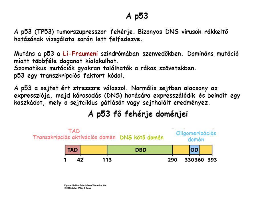 Transzkripciós aktivációs domén Oligomerizációs domén